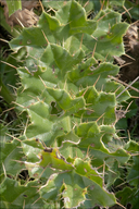 Cirsium acaule