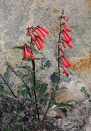 Eaton's Penstemon