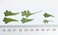 Nemophila parviflora var. quercifolia