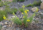 Mimulus clevelandii