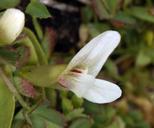 Trifolium monanthum var. monanthum