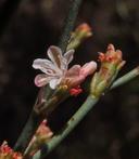 Eriogonum gracile