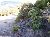 Arctostaphylos parryana ssp. desertica