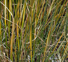 Poa cusickii ssp. pallida