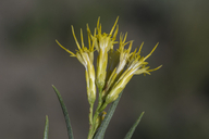 Ericameria nauseosa var. nauseosa