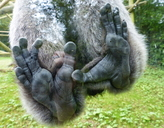 Grey Gibbon Hind Feet