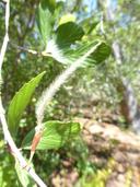 Cercocarpus betuloides var. blancheae