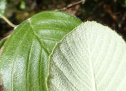 Cercocarpus traskiae