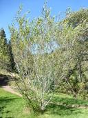 Salix lutea