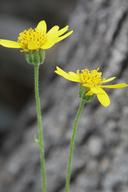 Arnica Xdiversifolia