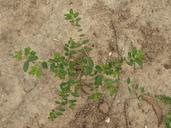 Euphorbia hypericifolia