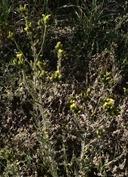 Madia citriodora