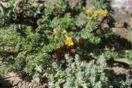 Aphyllon epigalium ssp. epigalium