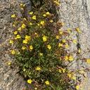 Erythranthe laciniata