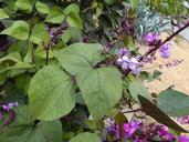Lablab purpureus
