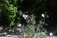 Clarkia jolonensis