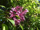 Fuchsia paniculata