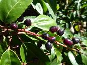 Prunus lusitanica var. azorica