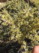 Prunus fasciculata var. fasciculata