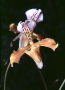 Ladyslipper Orchid