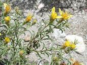 Ericameria suffruticosa