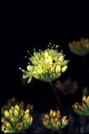 Eriogonum prociduum