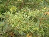 Abies concolor var. lowiana