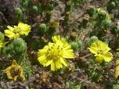 Deinandra increscens ssp. villosa