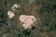 Achillea millefolium var. occidentalis
