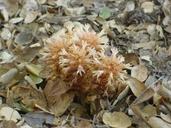 Aphyllon vallicolum