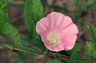 Calystegia sepium ssp. americana