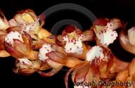Corallorhiza maculata var. maculata