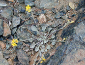 Physaria kingii