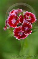 Dianthus barbatus ssp. barbatus