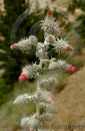Cirsium occidentale var. candidissimum