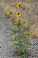 Bolander's Sunflower