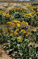 Balsamorhiza sagittata