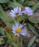 Symphyotrichum foliaceum