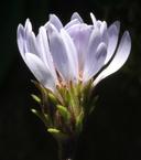 Aster foliaceus var. parryi