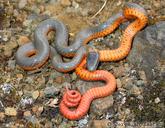 Diadophis punctatus occidentalis