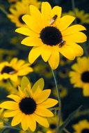 Pecos Sunflower