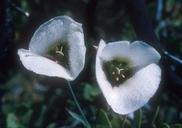 Calochortus howellii