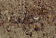 Camissonia kernensis ssp. kernensis