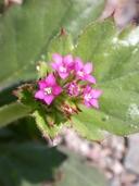 Aliciella latifolia ssp. latifolia