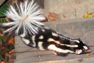 Spilogale gracilis