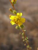 Holocarpha virgata ssp. elongata