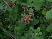 Rubus discolor