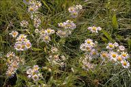 Erigeron annuus ssp. annuus