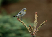 Setophaga coronata auduboni