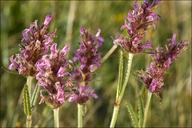 Stachys officinalis ssp. serotina